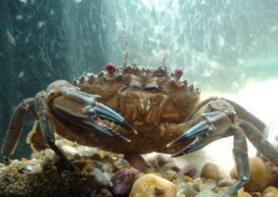 aquarium_crabe